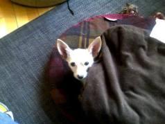 chihuahua con frio